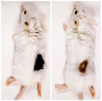 重症複合免疫不全マウスにおける...